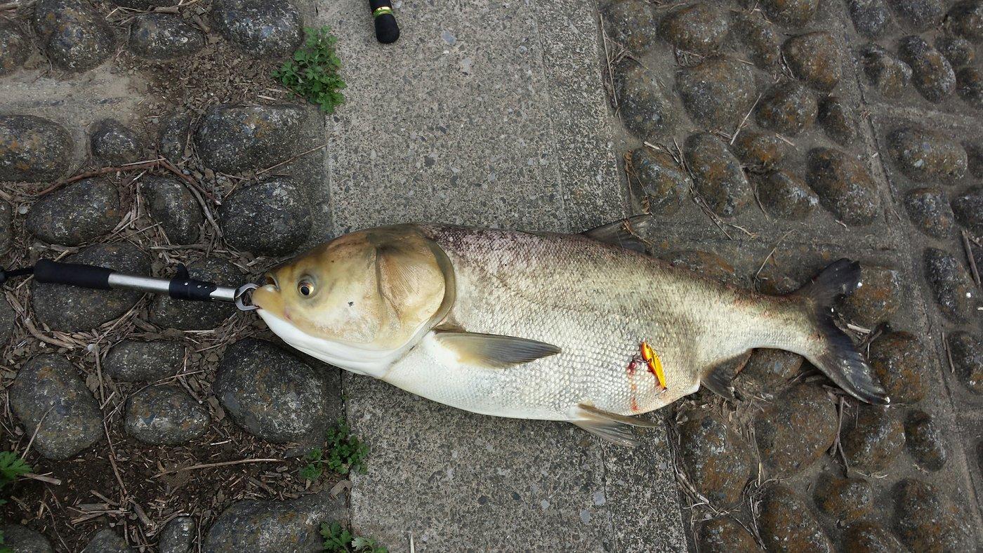 海智さんの投稿画像,写っている魚はハクレン