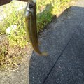 憲司さん@爆釣祈願さんの長野県松本市での釣果写真