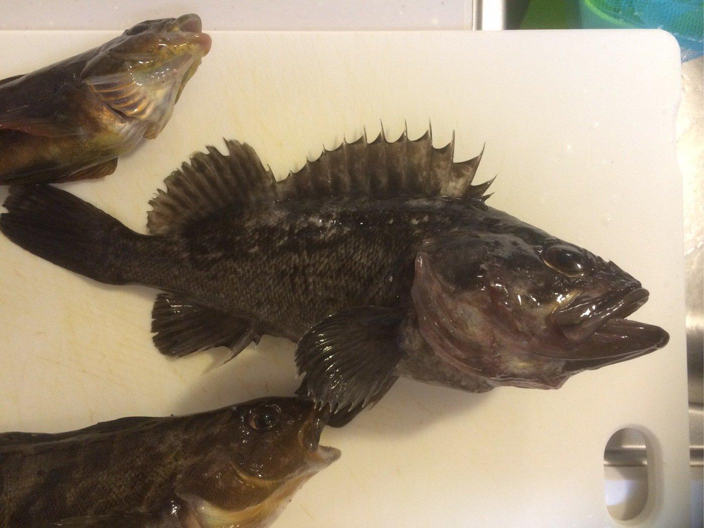 tmakoさんの投稿画像,写っている魚はクロソイ