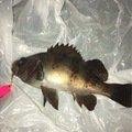 anpan fishさんの青森県でのシロメバルの釣果写真