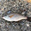 こしさんの千葉県でのウミタナゴの釣果写真