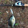 ラテス41さんの福岡県でのブルーギルの釣果写真