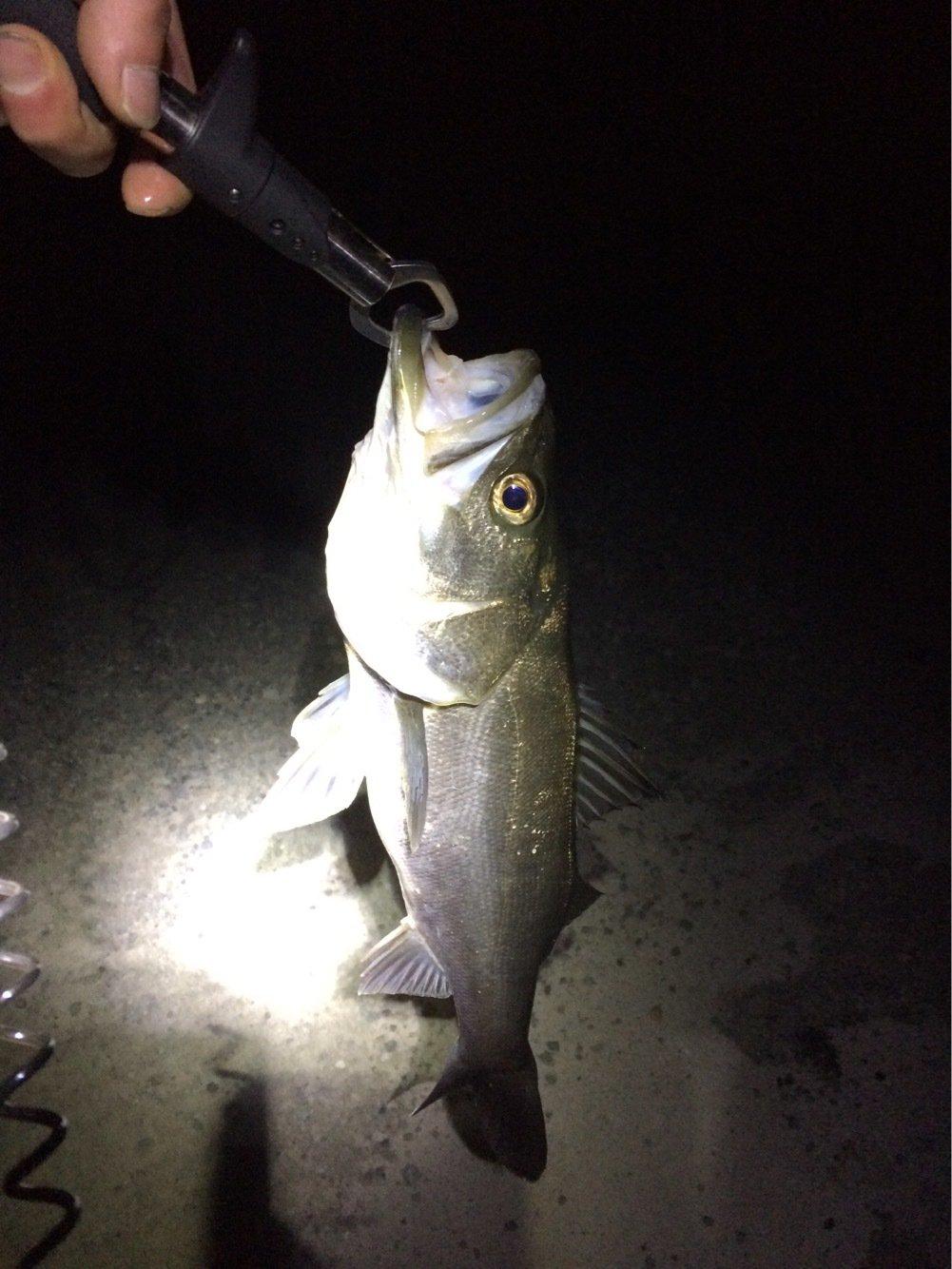 twtwtwさんの投稿画像,写っている魚はスズキ