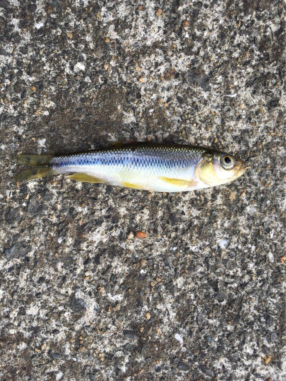 ゲンゴロウ(Team邪道)さんの投稿画像,写っている魚は