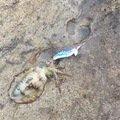 しまやん♪さんの京都府京丹後市でのアオリイカの釣果写真