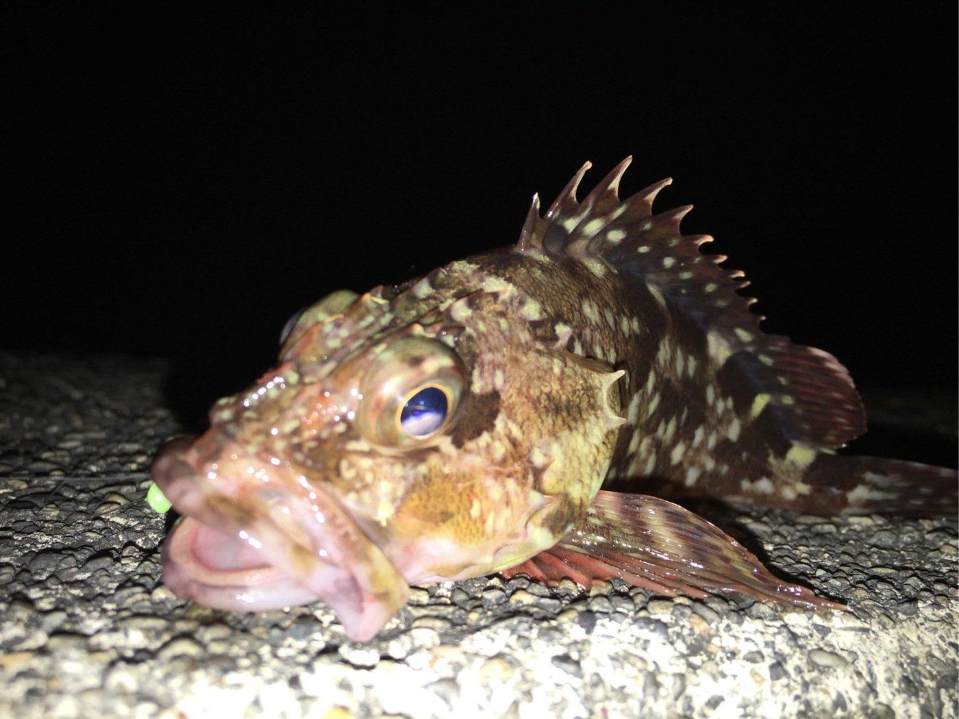 佐藤 勇登さんの投稿画像,写っている魚はアカカサゴ