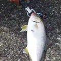 ぺけさんの高知県須崎市での釣果写真