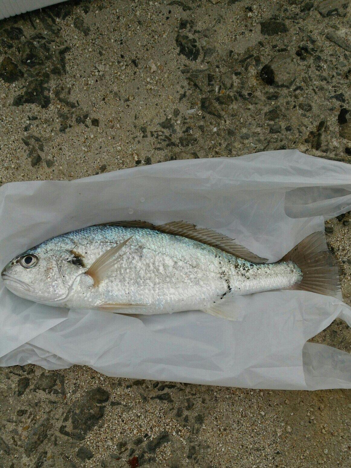 やまさんさんの投稿画像,写っている魚はイシモチ