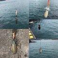ダイワさんの徳島県阿南市でのアオリイカの釣果写真