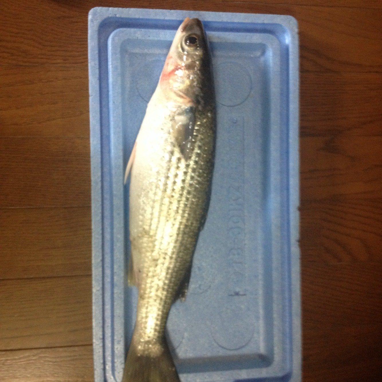 fukuo.kunさんの投稿画像,写っている魚はボラ