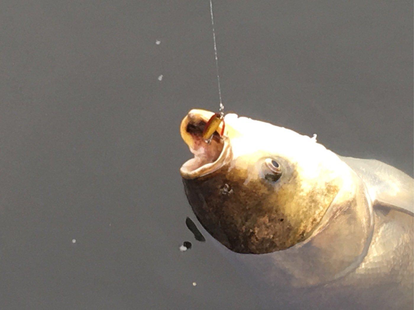 佐藤 勇登さんの投稿画像,写っている魚はハクレン