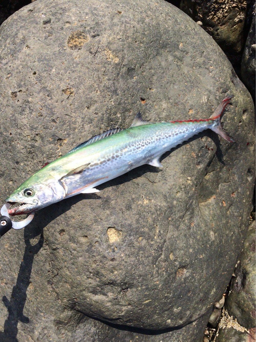 エンドウさんの投稿画像,写っている魚はサワラ