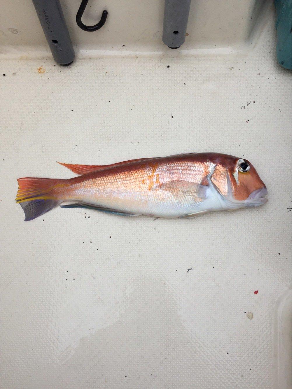 MINATOさんの投稿画像,写っている魚はアマダイ