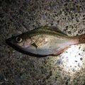 かまさんの神奈川県でのウミタナゴの釣果写真