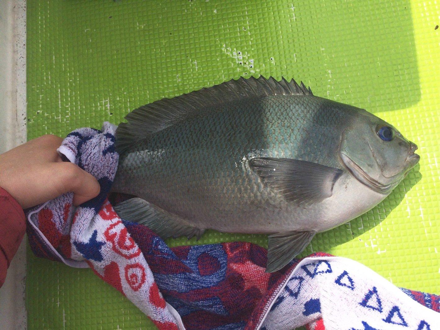 Keikoさんの投稿画像,写っている魚はメジナ
