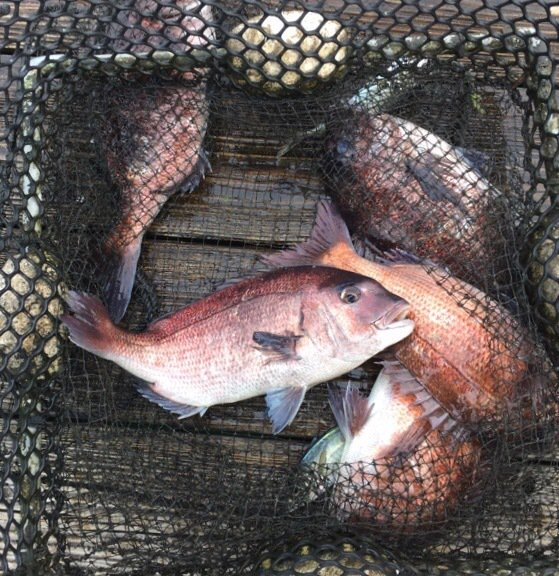 takashiさんの投稿画像,写っている魚はマダイ