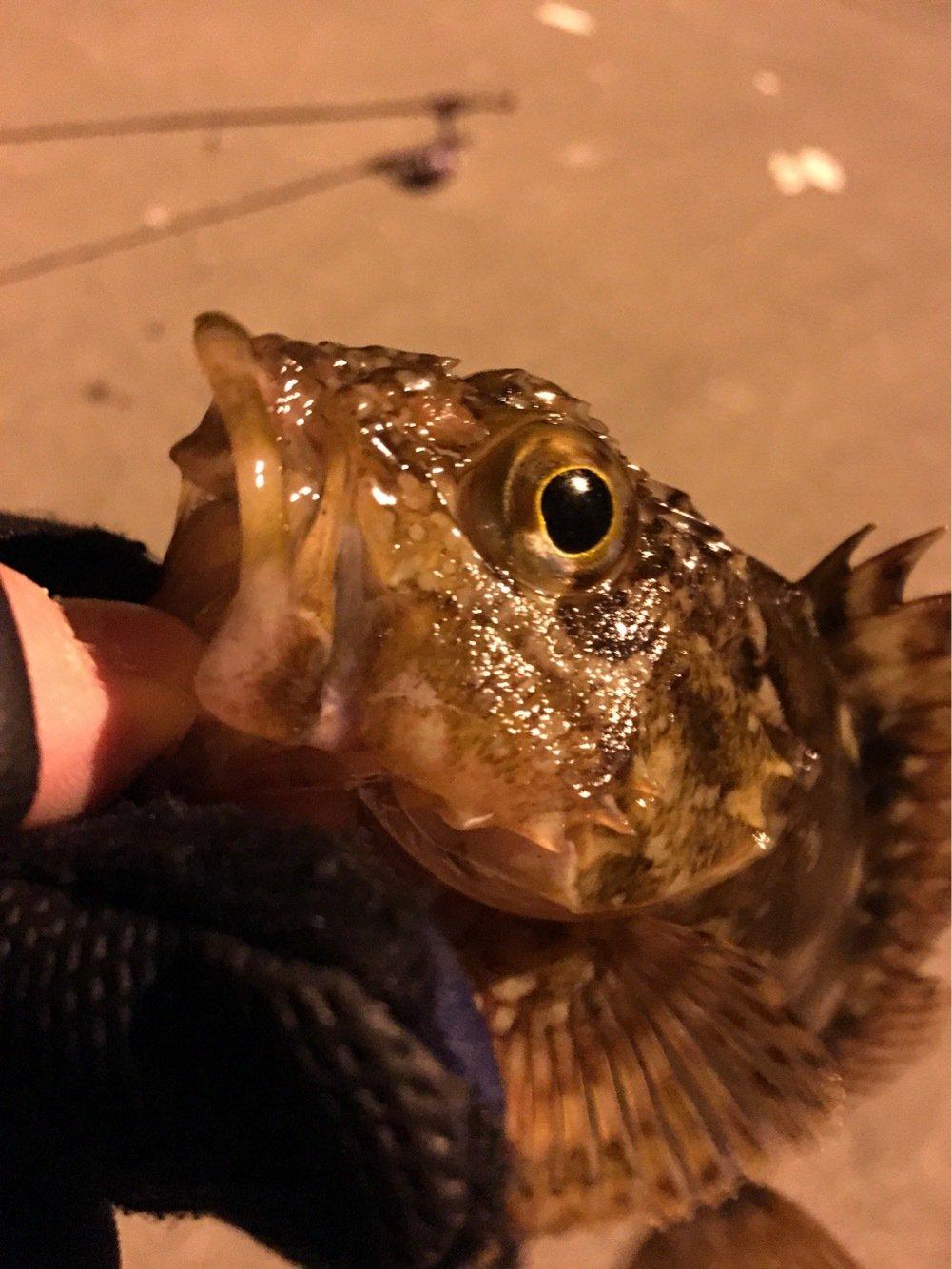 くろさんの投稿画像,写っている魚はカサゴ