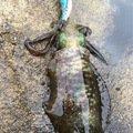 らむさんの京都府京丹後市でのアオリイカの釣果写真