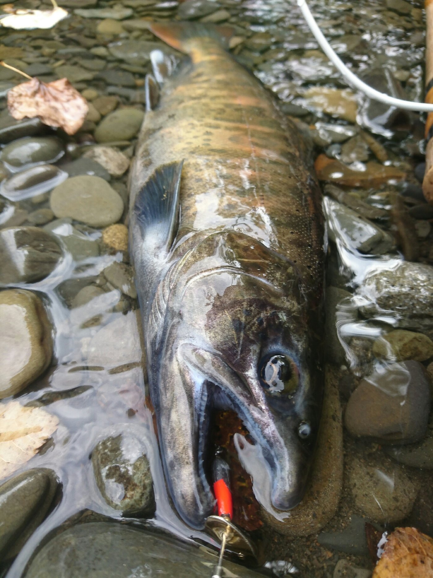 かぶやまさんの投稿画像,写っている魚はヤマメ