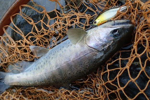 のぶさんの投稿画像,写っている魚はヤマメ