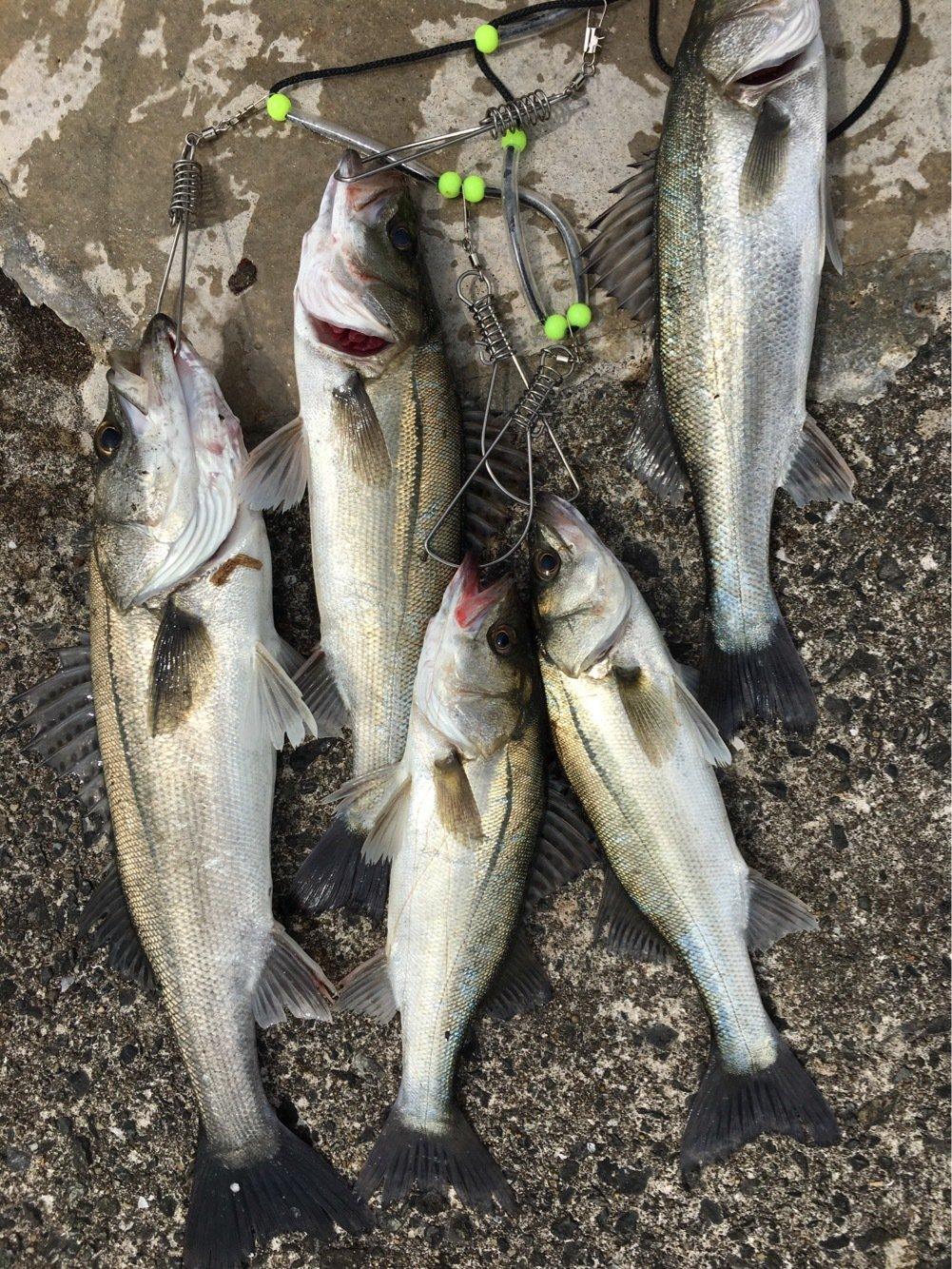 アングラーさんの投稿画像,写っている魚はスズキ