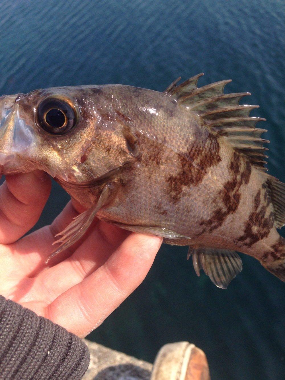 かめさんの投稿画像,写っている魚はメバル