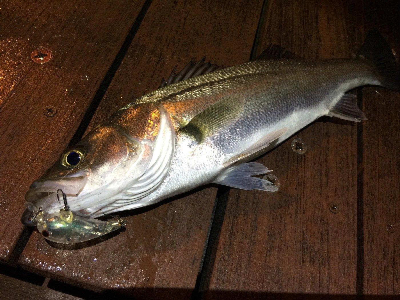 シャンさんの投稿画像,写っている魚はスズキ
