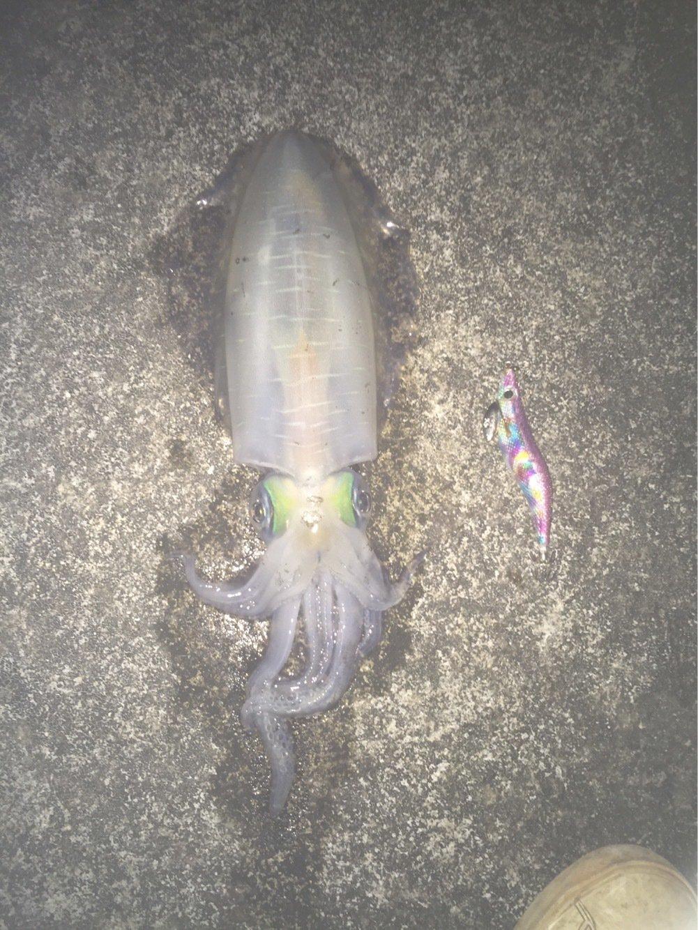 skaさんの投稿画像,写っている魚はアオリイカ
