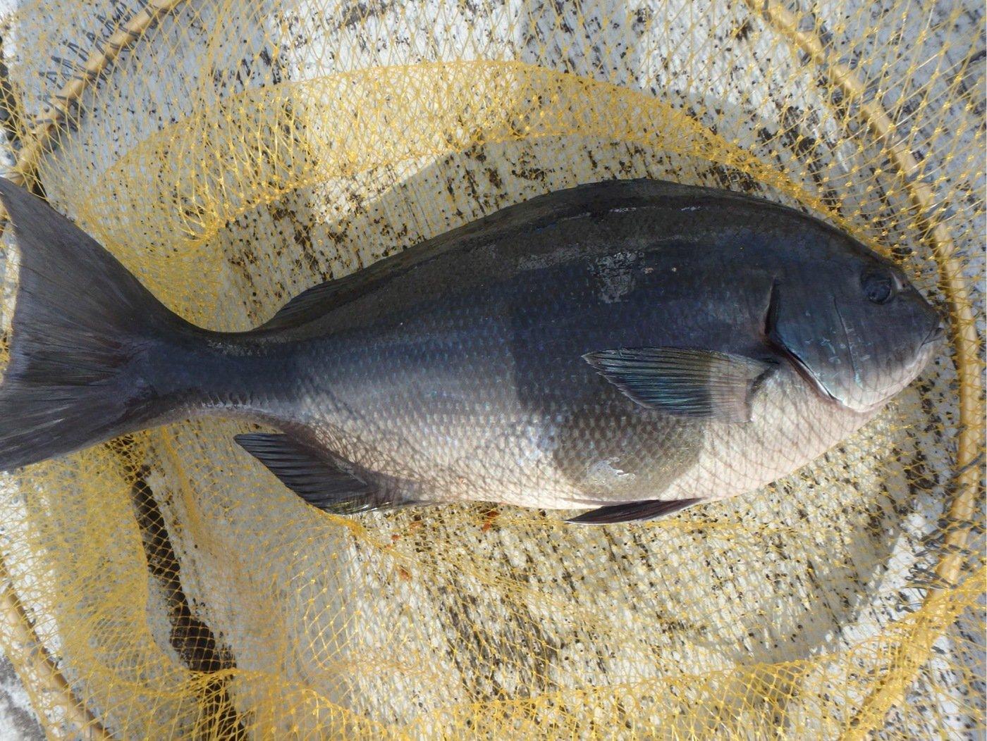 としはるいとさんの投稿画像,写っている魚はクロメジナ