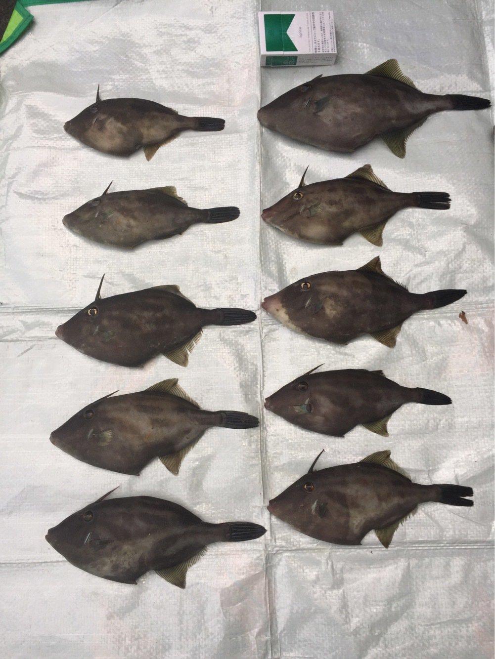 颯斗さんの投稿画像,写っている魚はウマズラハギ