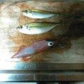 ひろみちおとうさんさんの岩手県でのヤリイカの釣果写真