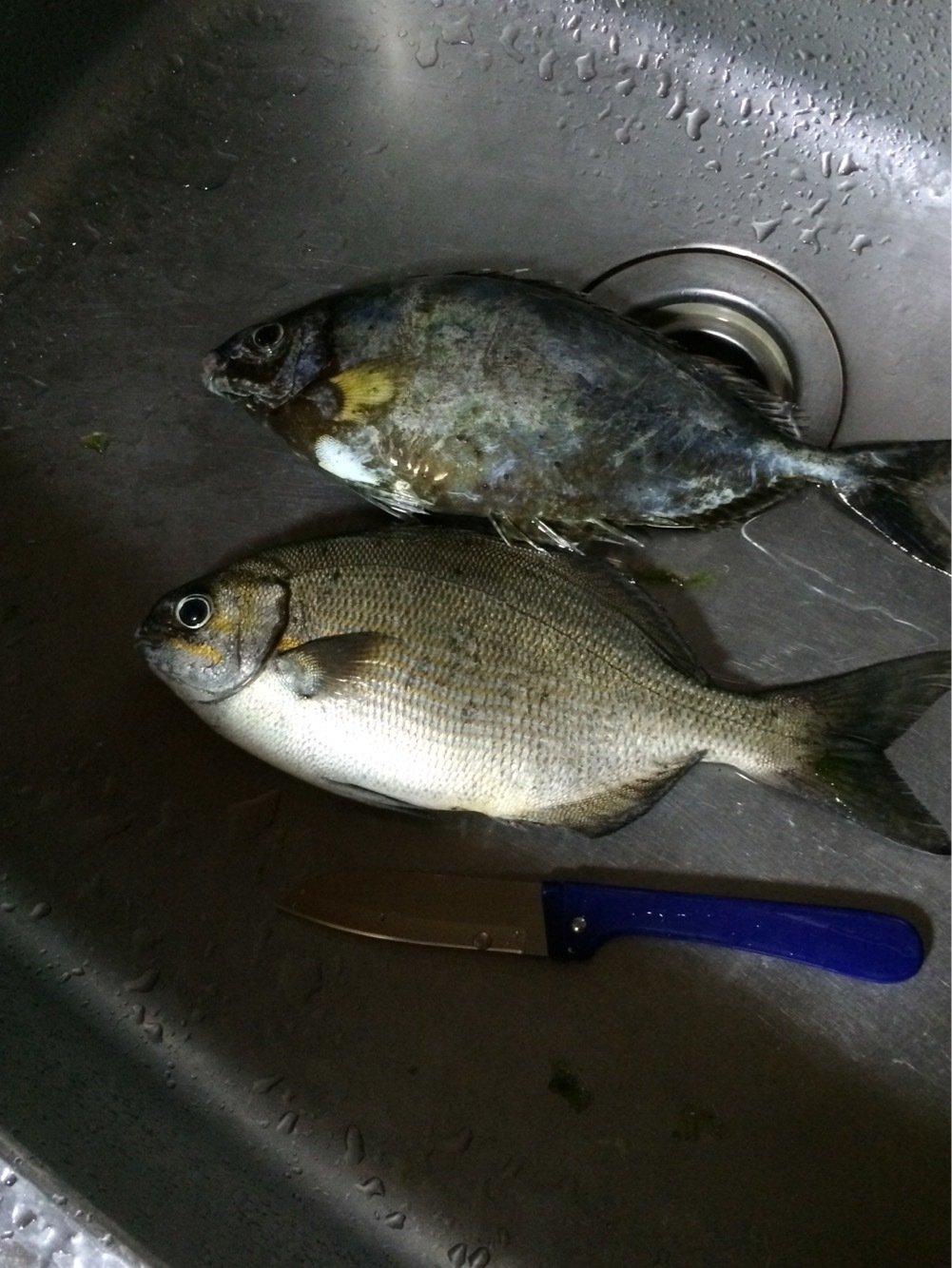 comonoさんの投稿画像,写っている魚は