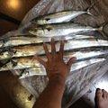 まつもとさんの大阪府松原市でのタチウオの釣果写真