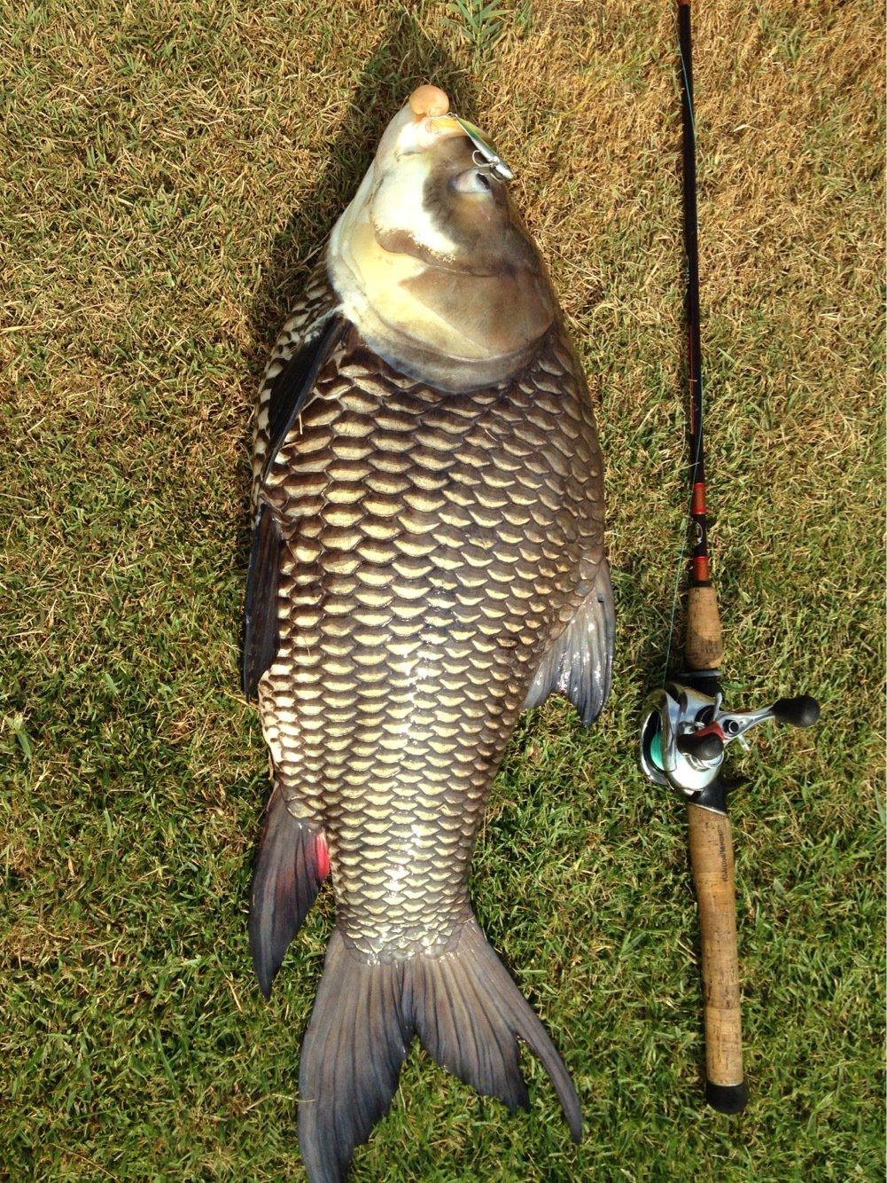 tomita@bkkさんの投稿画像,写っている魚はコイ