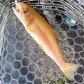 漁太さんの山梨県北都留郡での釣果写真