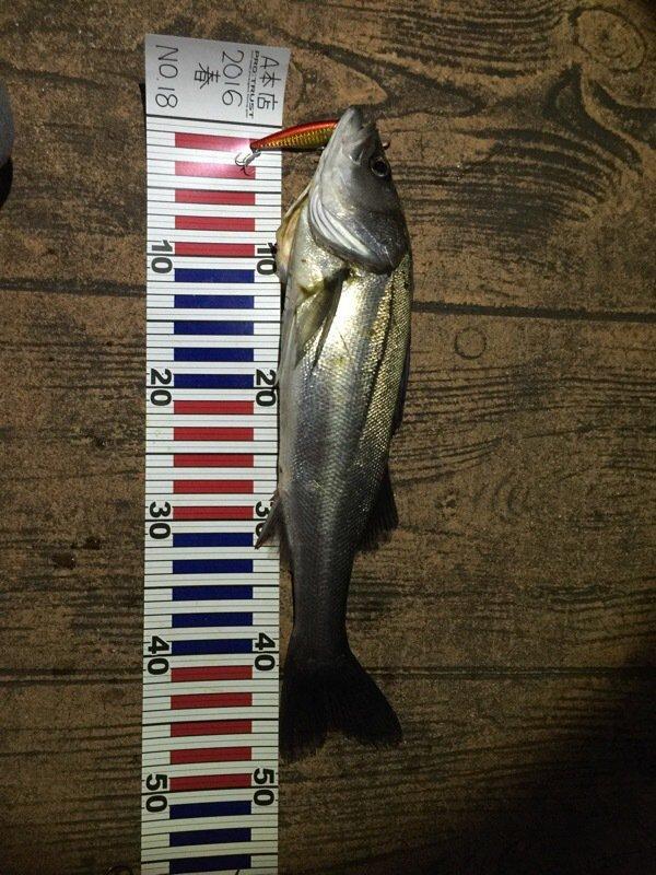 齊藤勝一さんの投稿画像,写っている魚はスズキ