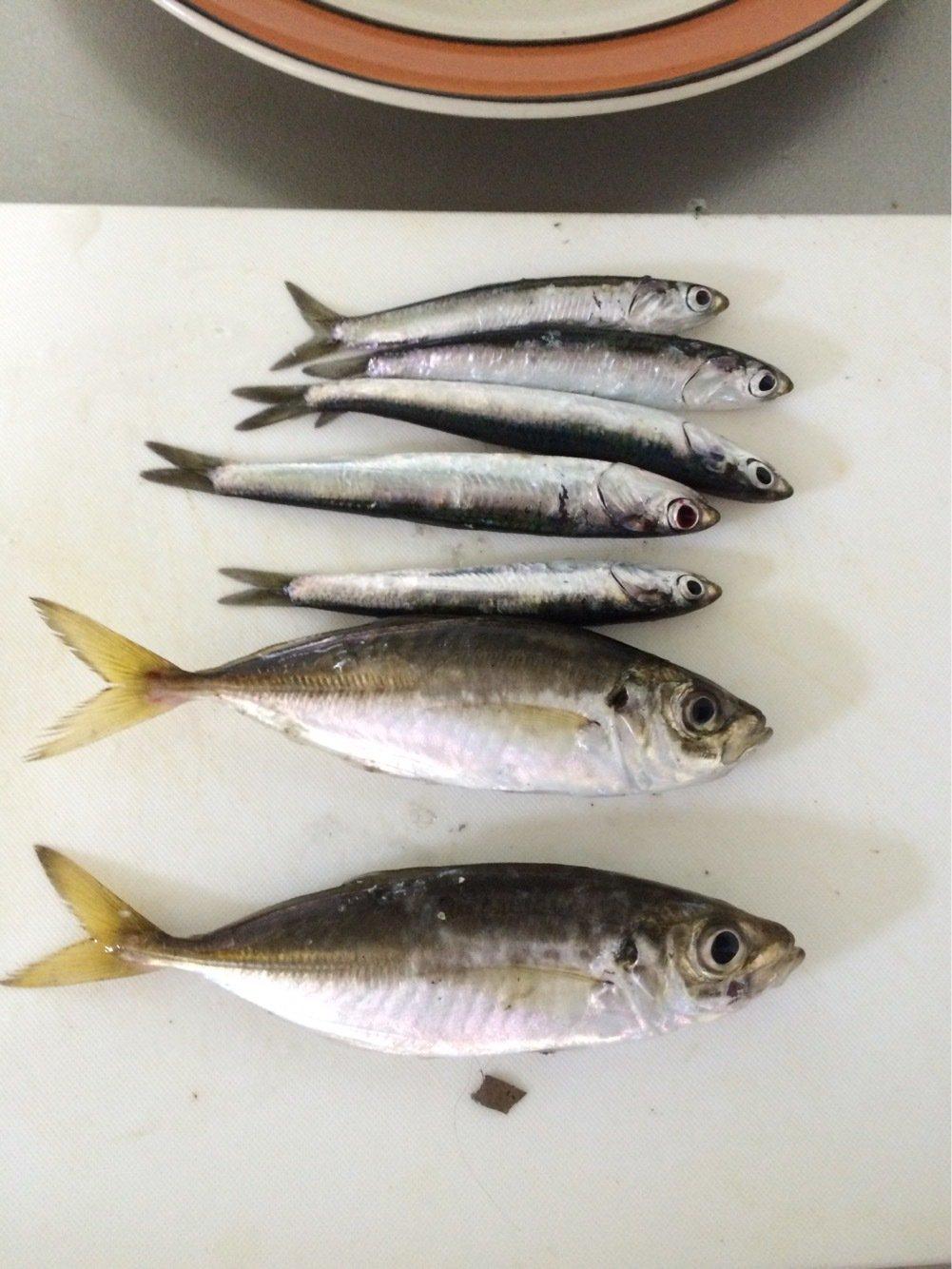 Mさんの投稿画像,写っている魚はウルメイワシ