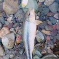 マツさんのオイカワの釣果写真