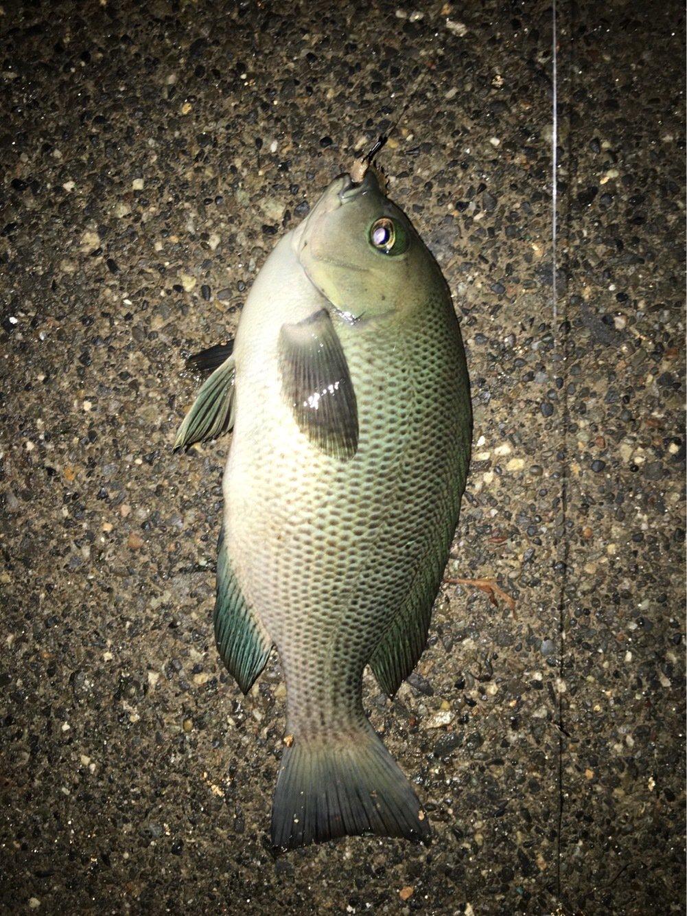 佐藤 勇登さんの投稿画像,写っている魚はクロメジナ