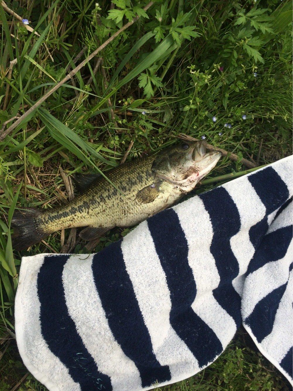 ちーかまさんの投稿画像,写っている魚はスモールマウスバス