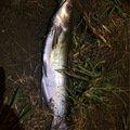 シーアツさんの千葉県香取市での釣果写真