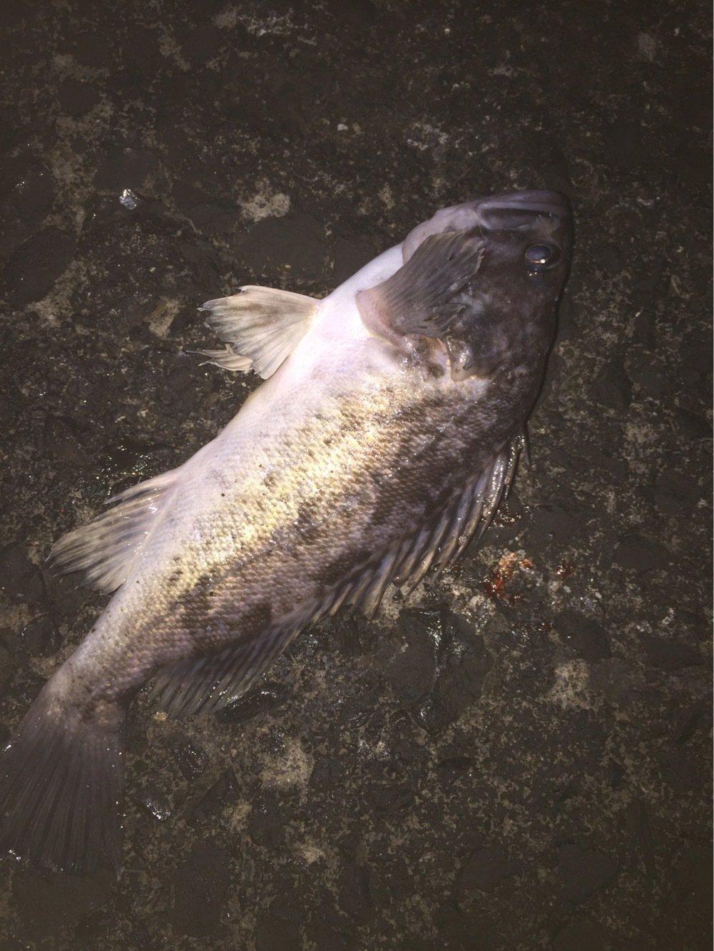 小ゾイハンターさんの投稿画像,写っている魚はクロソイ