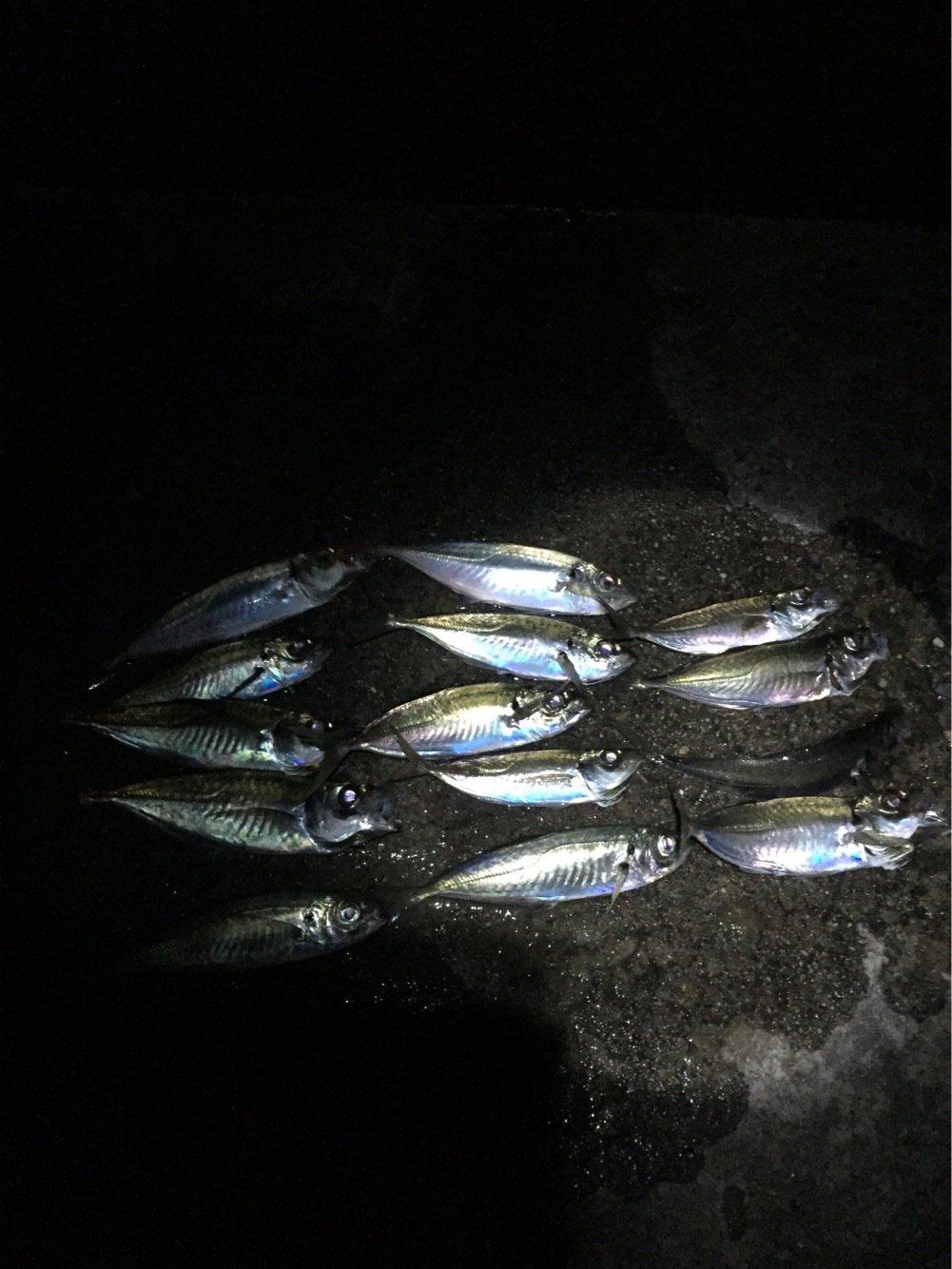 としおさんの投稿画像,写っている魚はアジ