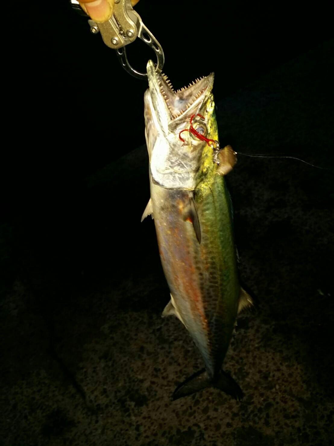 小悪魔さんの投稿画像,写っている魚はサワラ