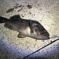 みほせんせいさんの北海道留萌市での釣果写真