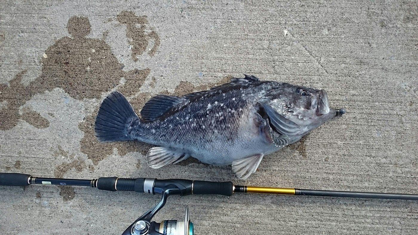 chef.kazu71さんの投稿画像,写っている魚はクロソイ