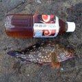 senさんの静岡県賀茂郡でのカサゴの釣果写真