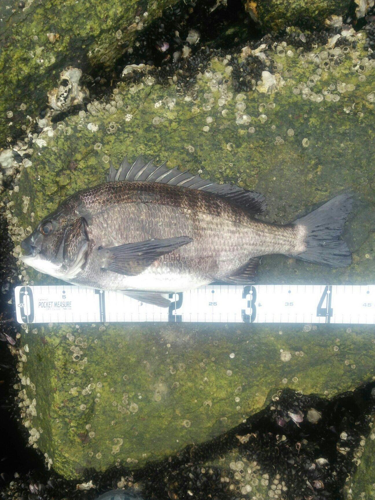 かにさんさんの投稿画像,写っている魚はクロダイ