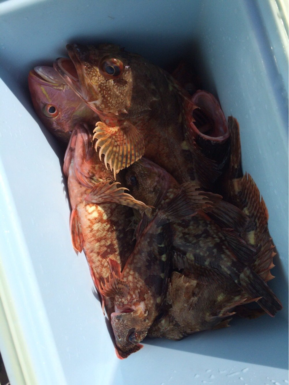 ゆーやさんの投稿画像,写っている魚はカサゴ
