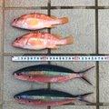 クロさんのタカサゴの釣果写真